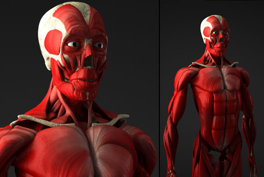 3d Models People Human Body Muscle Cinema 4d Tutorials